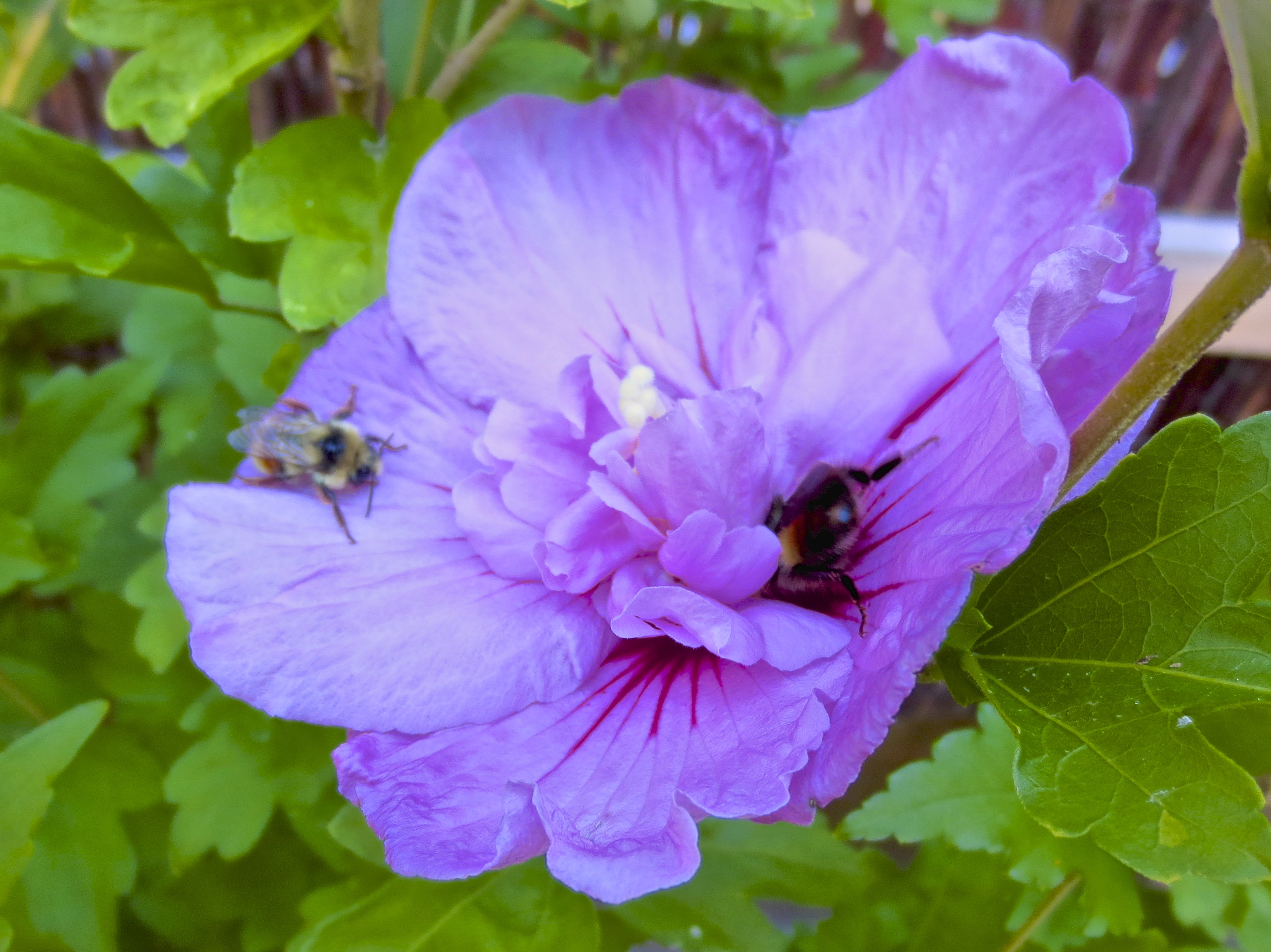 Purple Hibiscus Backyard Snob : Purple Hibiscus with BumbleBees  seascapedesignsblog